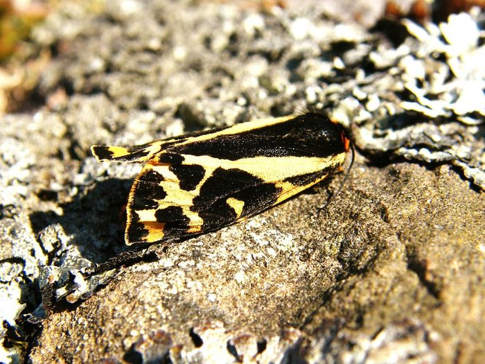 One Animal Animals In The Wild Animal Themes Insect Animal Wildlife Day Rock - Object No People Close-up Nature Sunlight Outdoors Sand Animal Markings Full Length Moth Tiger Moth Wood Tiger Moth Lepidoptera Butterflies And Moths