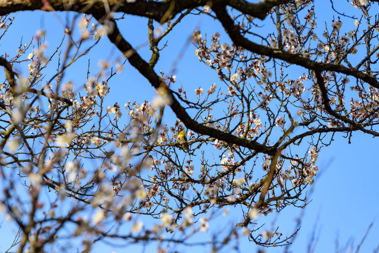 Tree Plant Low Angle View Branch Sky Beauty In Nature No People Nature Day Growth Flower Outdoors Flowering Plant Tranquility Clear Sky Focus On Foreground Blossom Blue White Color Selective Focus Springtime Spring Cherry Blossom 曽我梅林