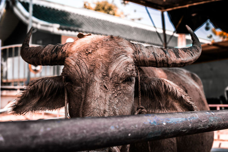 Close-up of a buffalo