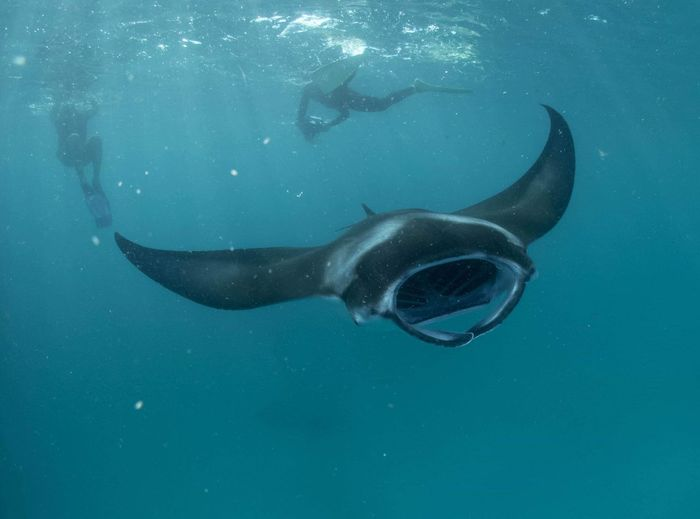 Manta ray Ray Manta Tropical Reef Wild Wildlife Underwater Sea Water Animal Themes UnderSea Animal Wildlife Animals In The Wild Animal Blue Sea Life Nature Fish Marine Vertebrate Scuba Diving Whale Shark