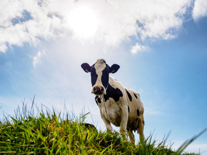 Low angle view of cow on field against sky