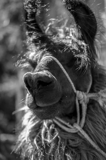 Misplaced Llama found in the Highlands of Guatemala Countryside Country Life Animals Black And White Black & White Portrait Smile No Filter Farm Nature EyeEm Best Shots EyeEm Nature Lover EyeEm Best Shots - Nature