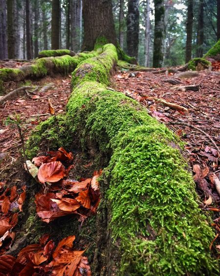 Tree Plant Forest Land Growth Nature Trunk Tree Trunk Leaf Plant Part Day Moss No People Tranquility Green Color Beauty In Nature WoodLand Field Outdoors Falling Change Leaves Bark A New Beginning