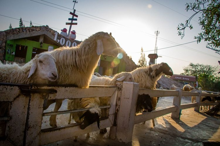 Agriculture Livestock Animal Domestic Animals Mammal Business Finance And Industry Sky Outdoors People Oil Pump Occupation Rural Scene Animal Themes Day