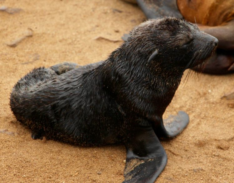 Baby Animal Themes Animal Wildlife Animals In The Wild Baby Seal Close-up Day Mammal Nature No People One Animal Outdoors Sand
