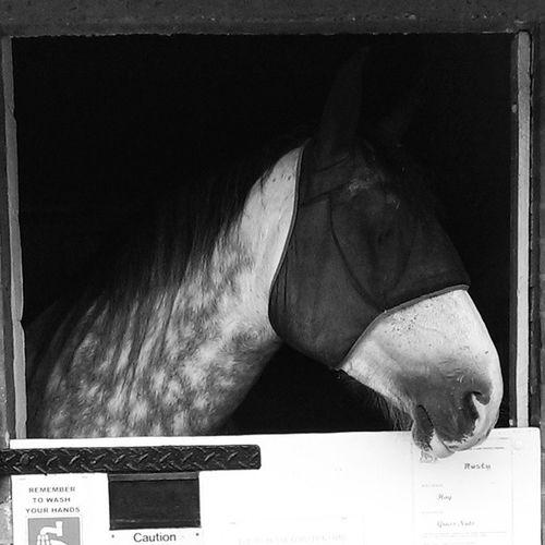 Rusty Hillsidesanctuary Westrunton Norfolk Norwich horses sgorse shirehorse shirehorse