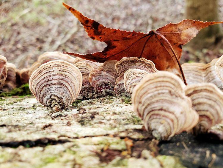 Turkey Tail Fungi? Leaf Fall Leaves Fungi Fungus 🍄 Turkey Tail Fungi Fungi On A Log Fungi On Tree Fungi Family EyeEm Selects Close-up Fungus