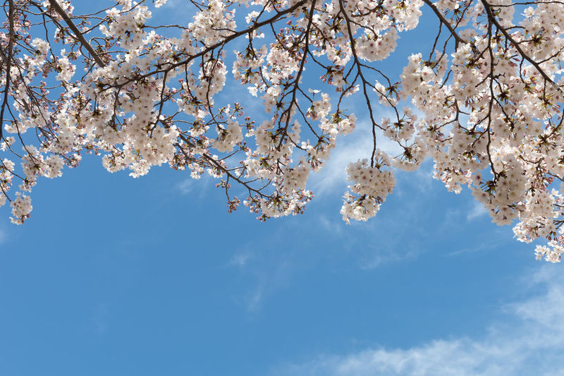 Sky Plant Tree Branch Low Angle View Beauty In Nature Blossom Springtime Growth Flower Fragility Nature Freshness Flowering Plant White Color Blue Cloud - Sky Cherry Blossom Day No People Cherry Tree Outdoors