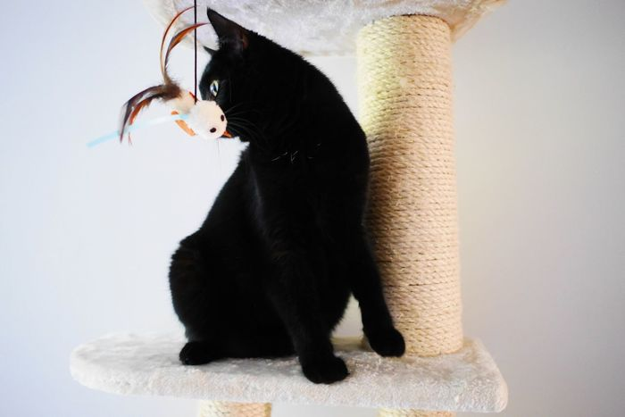 Domestic Cat Feline Mammal One Animal Pets Domestic Animals Animal Themes Cat Sitting No People Black Color Indoors  White Background Close-up Day Pet Black Whisker Kitten Portrait Indoors  Curiosity Silhoutte Yellow Eyes Black Cats