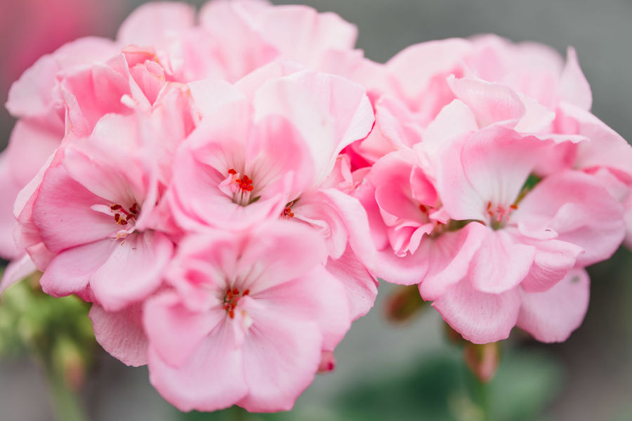 Fine Art Photography Geraniums Beauty In Nature Botany Close-up Day Fine Art Floral Pattern Flower Flower Head Flowering Plant Focus On Foreground Fragility Freshness Geranium Flowers Growth Inflorescence Macro Outdoors Petal Pink Color Plant Pollen Softness Vulnerability