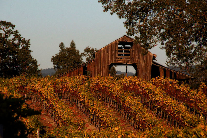 Iconic barn on Slusser Rd. Abandoned Buildings Barn Building Exterior EyeEmNewHere Landscape_photography Leviathan Photography Nature Orange Color Outdoors Vineyard