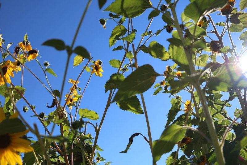 Sunflowers Daylight Blue Sky First Eyeem Photo