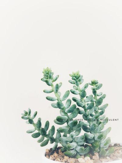 succulent_sedum