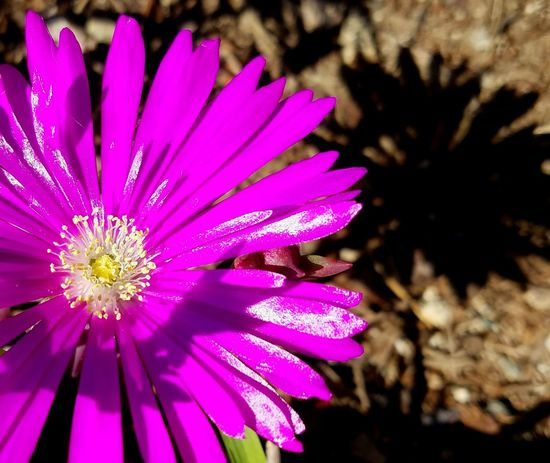 Walking Around My Neighborhood Pattern Flower Purple Magneta Fragility Beauty In Nature Shadow Shadow And Light Still Life Street Photography Blooming Freshness Flower Head Fine Art Photography Meditation Lines And Design EyeEm Best Shots Copy Space This Week On Eyeem EyeEm Nature Lover Nature Natural Beauty Tranquility Natures Colors The City Light