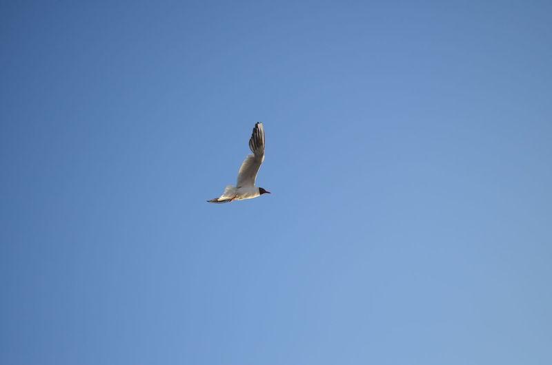 Gull Gulls Bird