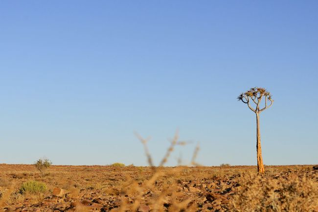 Quiver tree in Namaqualand, Namibia Desert Namaqualand Namibia Tree Africa African Beauty Arid Climate Beauty In Nature Clear Sky Desert Desert Beauty Landscape Nature No People Quiver Quivertree  Sand Scenics Sky Tranquil Scene Tranquility