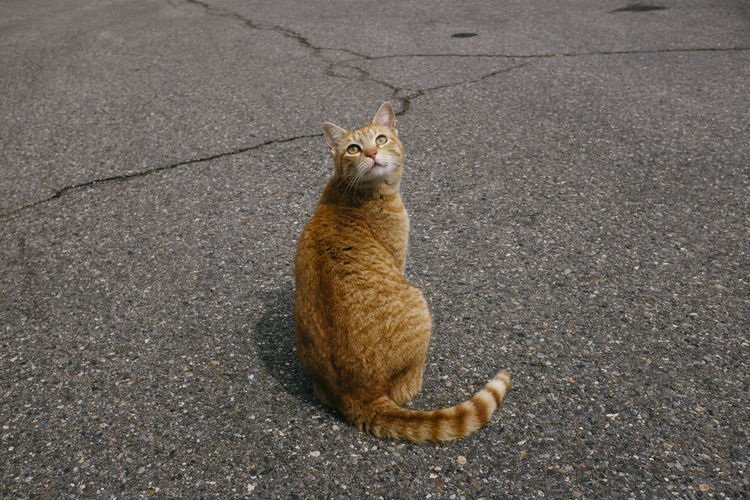 High angle view of ginger cat sitting on road