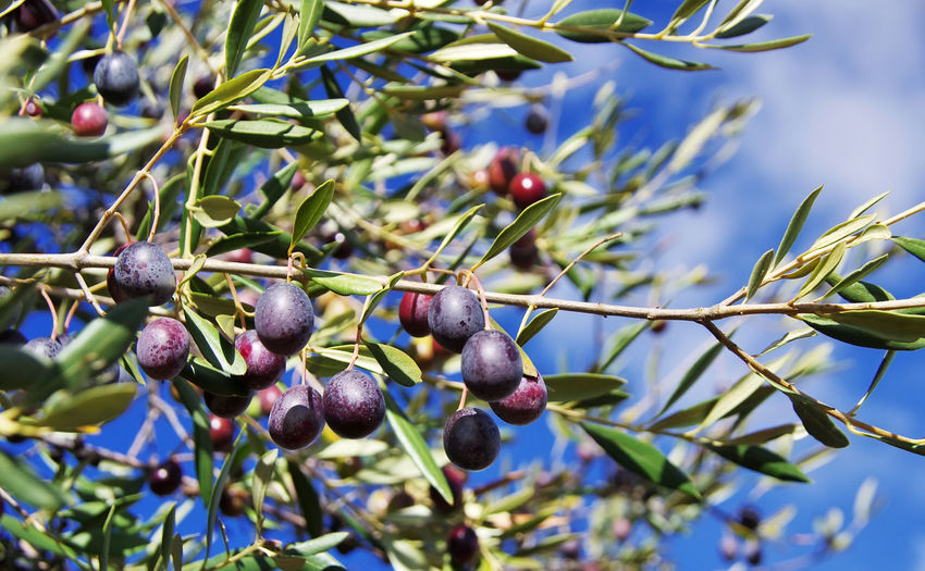 Close-up of ripe olives on branches