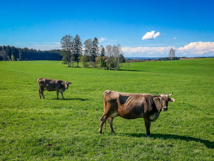 Cows grazing in pasture