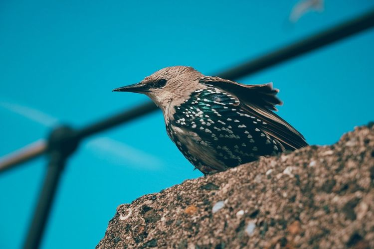 Low angle view of starling perching against blue sky