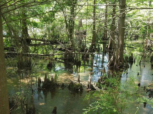 Nature Growth Outdoors No People Tree Beauty In Nature Water Full Frame Tranquility Backgrounds Swamp Life Swamps Louisiana Bayou Cypress Knees