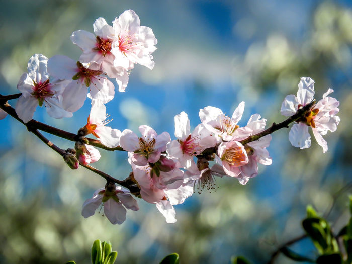 Almond Tree Blossom Beauty In Nature EyeEmEsterlinda Flower Flowers Italy March Nature Naturelovers Sky Tree White Color