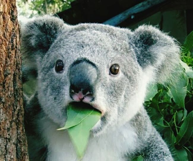 Animals Koala Marvelshots Nature Big Brown Eyes