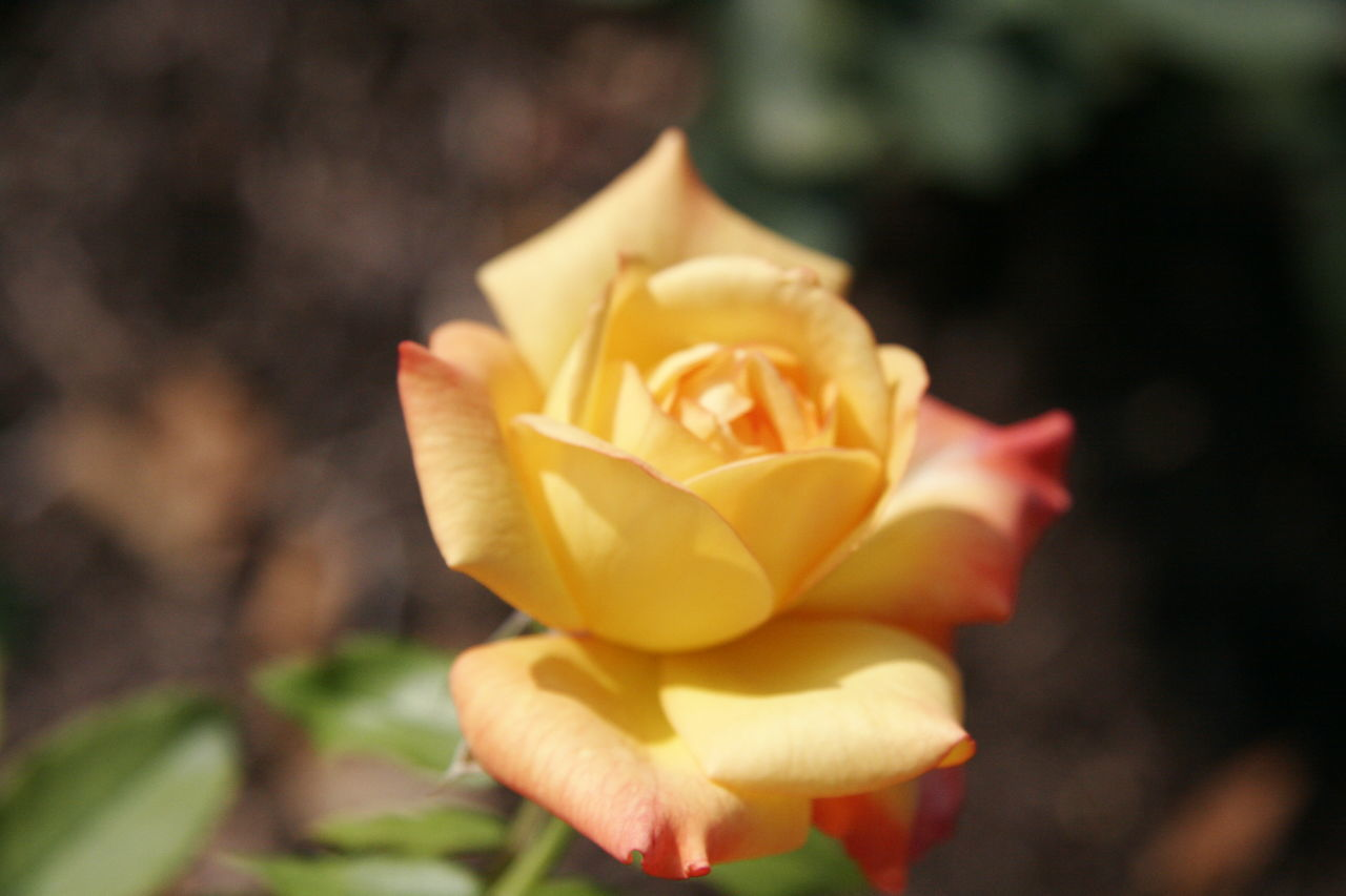 petal, flower, flower head, fragility, nature, beauty in nature, yellow, freshness, growth, blooming, plant, rose - flower, outdoors, close-up, day, no people