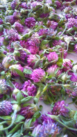 Harvest Red Clover! Beauty In Nature Red Clover Beauty In Nature Nature Is Awesome Plants Nature Is Awesome