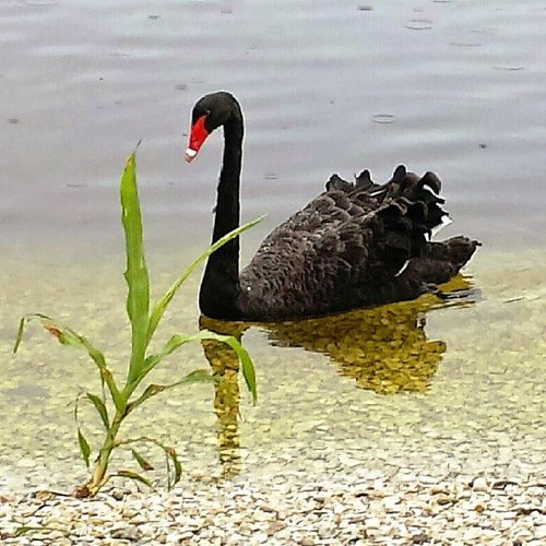 Black Swan Seminole Florida Nature Rain Smartphonephotography P7taylor Epicearthco
