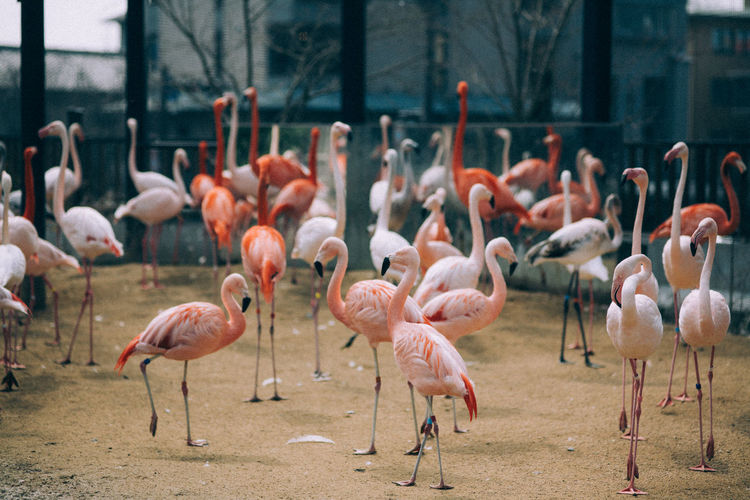 Flamingos On Field In Zoo