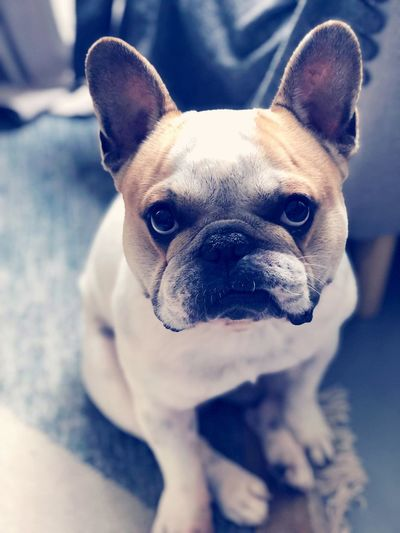 Frenchieoftheday Frenchie #frenchbulldoglove EyeEm Selects One Animal Canine Mammal Looking At Camera French Bulldog Domestic Animals