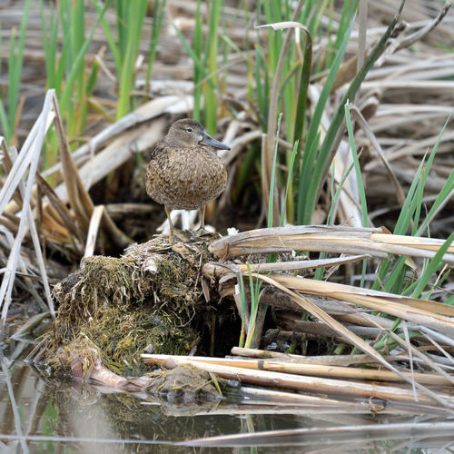 Cinnamon Teal 2 Coyote Hills Regional Park Marsh Tidal Wetlands Marshlands Wildlife Refuge Salt Pond Cinnamon Teal Hen Spatula Cyanoptera Anatidae Dabbling Ducks Waterbird Nature Nature Collection Beauty In Nature Duck Perching Nest Reflection Reflections In The Water Reed - Grass Family Diet: Mollusks, Aquatic Insects, Plant Matter Wetland Close-up Avian