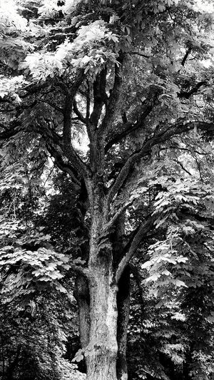 Mighty Oaks Leaves And Sky Toweringabove Black And White Photography Nature Photography Nature Black&white OpenEdit Tree Hugger Love Germany