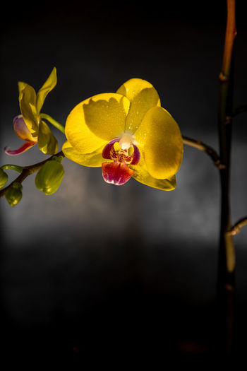 Close-up of yellow orchid against black background