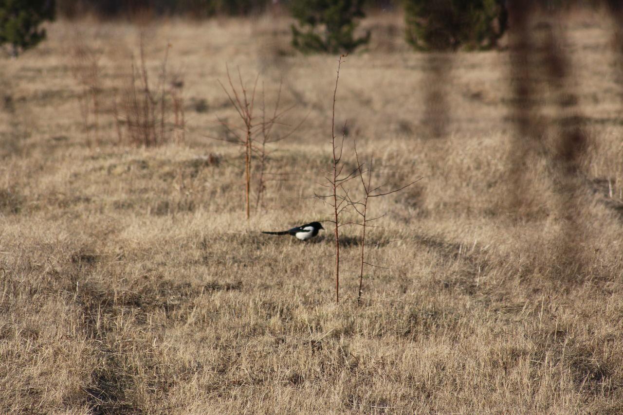 one animal, animals in the wild, animal themes, animal wildlife, grass, bird, field, nature, day, outdoors, no people, mammal, bird of prey