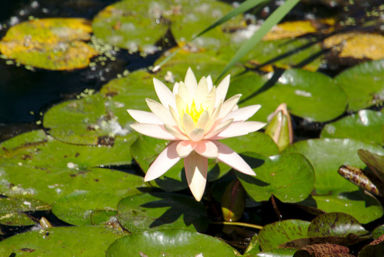 Water lily Beauty In Nature Close-up Day Floating On Water Flower Flower Head Flowering Plant Fragility Freshness Growth Inflorescence Lake Leaf Leaves Nature No People Outdoors Petal Plant Plant Part Vulnerability  Water