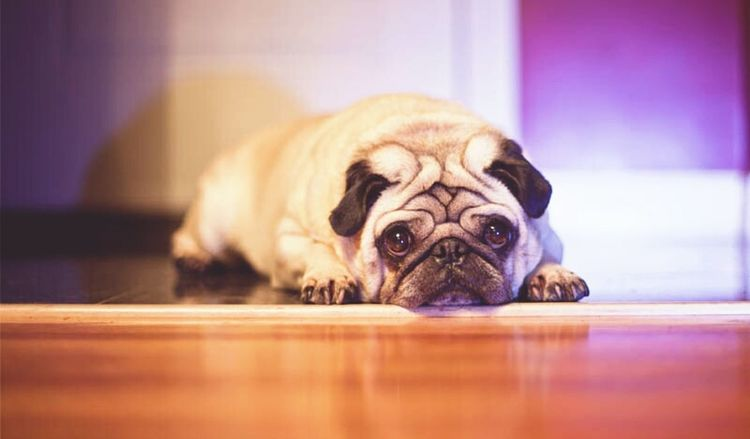 Mylo Dogs Cute Pets Pets Photography Canon Love Strobist Hanging Out Pug Pugs