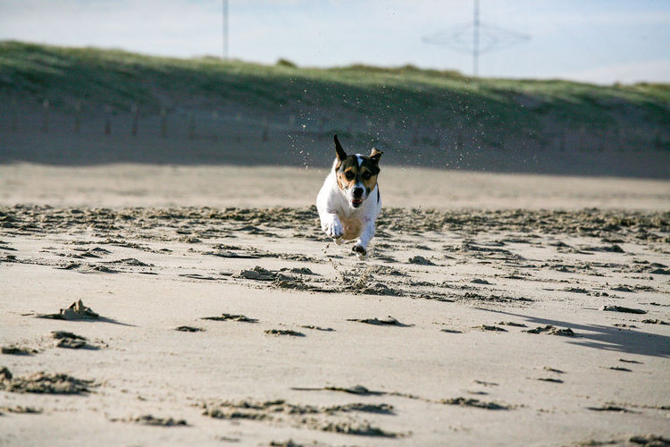 I can fly Scheveningen  Copy Space Copyspace Dog Petal Beach Sand Flying Fun FUNNY ANIMALS Jump Enjoyment Spontaneous Animals In The Wild Canine Carnivora Water Slide Pet Collar Mixed-breed Dog Rushing Ear Panting