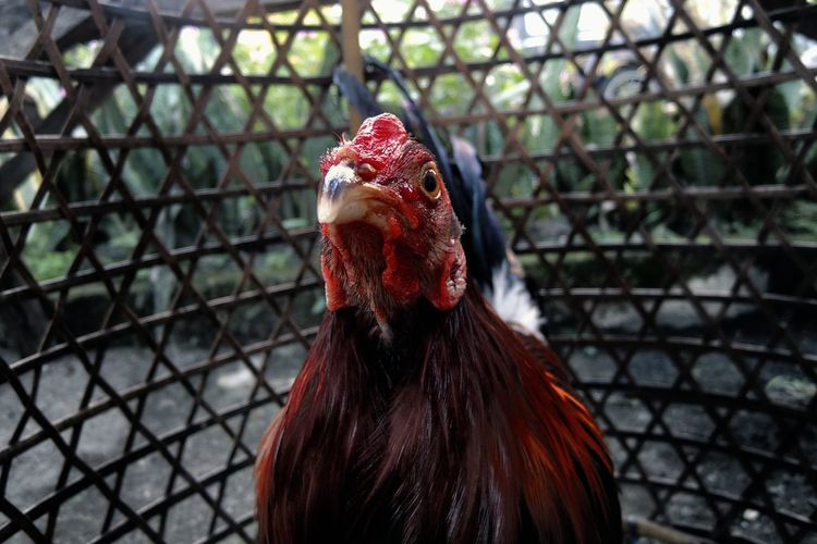 Close-up of rooster in cage