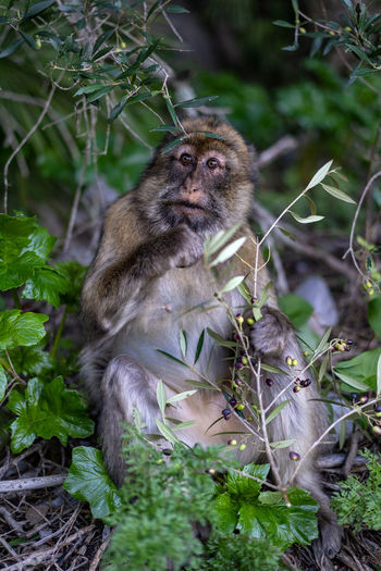 Primate Animal Wildlife Animals In The Wild Macaque Macaque Monkey Macaques Monkey Monkeys Female Male Old Gibraltar Gibraltar Rock Morocco Ape Barbary Wildlife Wild Sitting