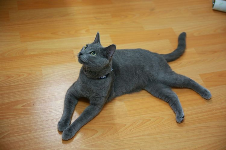 It has been a long time everybody~ I am back. My name is Blueberry. Mycat❤ Russianbluecat Eyemcat My Pet
