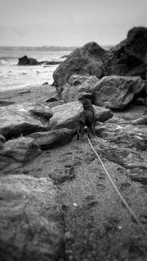 Rottweileroftheday Dogs Rottweiler Cornwall Uk Cornwall Beach Cornwall Polridmouth Dogoftheday Dogs Of EyeEm Rottweilerlove Rottweilerlife Rottweilergirls Rottweilersofeyem Girlandherdog Bestfriend Beach Beachwalk Dogbeach Beautiful Girl Blackandwhite