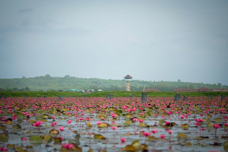 Scenic view of water lilies on land