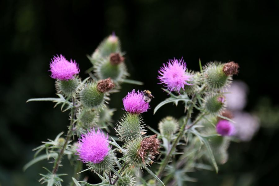 Beauty In Nature Blossom Botany Close-up Day Flower Flower Head Focus On Foreground Fragility Freshness Growth In Bloom Nature Petal Pink Pink Color Plant Selective Focus Softness Spiked Stem Thistle Thorn Wildflower