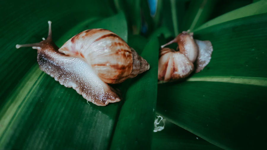The Journey Of Snail Songkhla Thailand Leaves Crawling Green Color Day Nature Leaf Animal Shell Animal Body Part Animal Antenna Plant Part One Animal No People Shell Animals In The Wild Animal Themes Invertebrate Close-up Animal Animal Wildlife Mollusk Gastropod Snail Small
