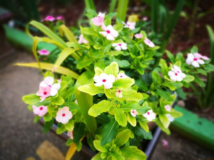 Flower Nature Plant Beauty In Nature Growth Leaf Fragility Flower Head Freshness Springtime Pink Color Green Color Petal Outdoors No People Close-up Day Trinidad And Tobago Trinidad Nature