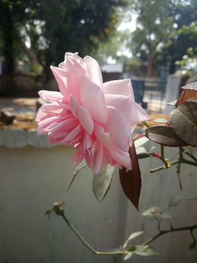 Outdoors Beauty In Nature Nature Photography Focus Flower Rose - Flower Beautiful World We Have