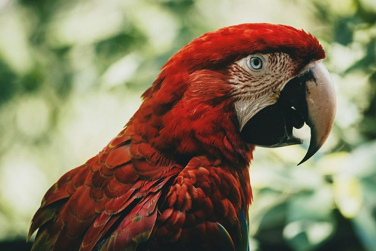 Scarlet macaw perching on wooden post