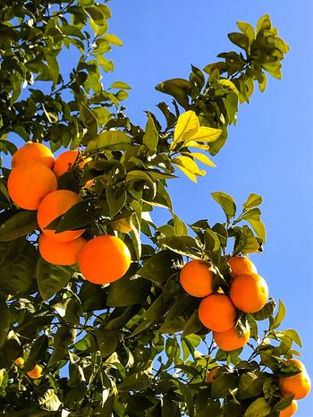 Orange Effect Fruit Low Angle View Growth Leaf Food And Drink Freshness Food No People Tree Sunlight Day Outdoors Citrus Fruit Nature Orange Tree Healthy Eating Clear Sky Yellow Beauty In Nature Close-up